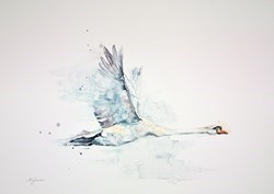 Wild Mute Swan in Flight by Amanda Gordon -  sized 24x18 inches. Available from Whitewall Galleries